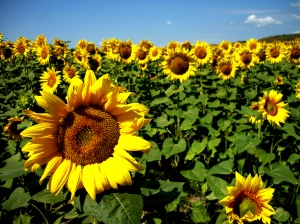 sunflowers-kristian-kretschmann